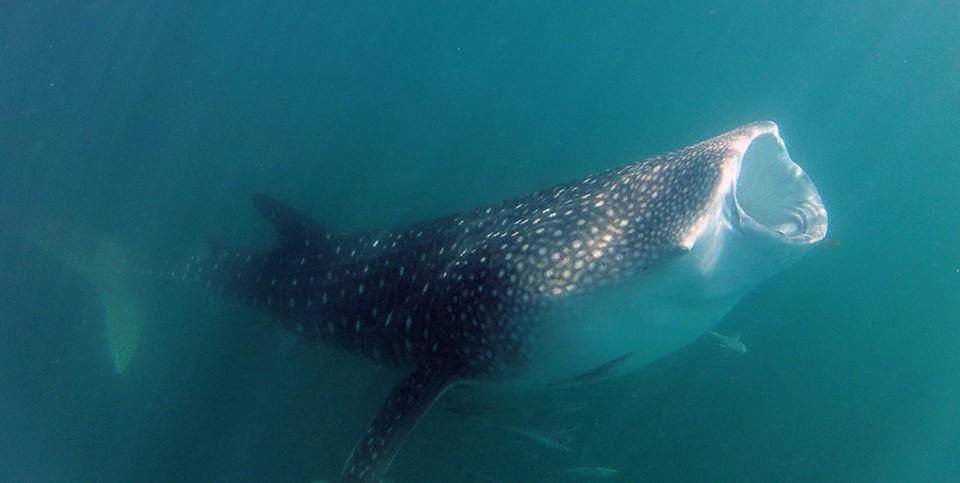 whale mouth Web