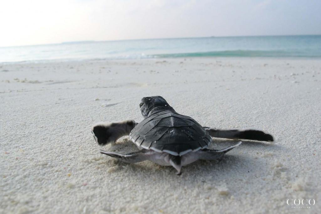 Coco Palm Dhuni Kolhu Turtle