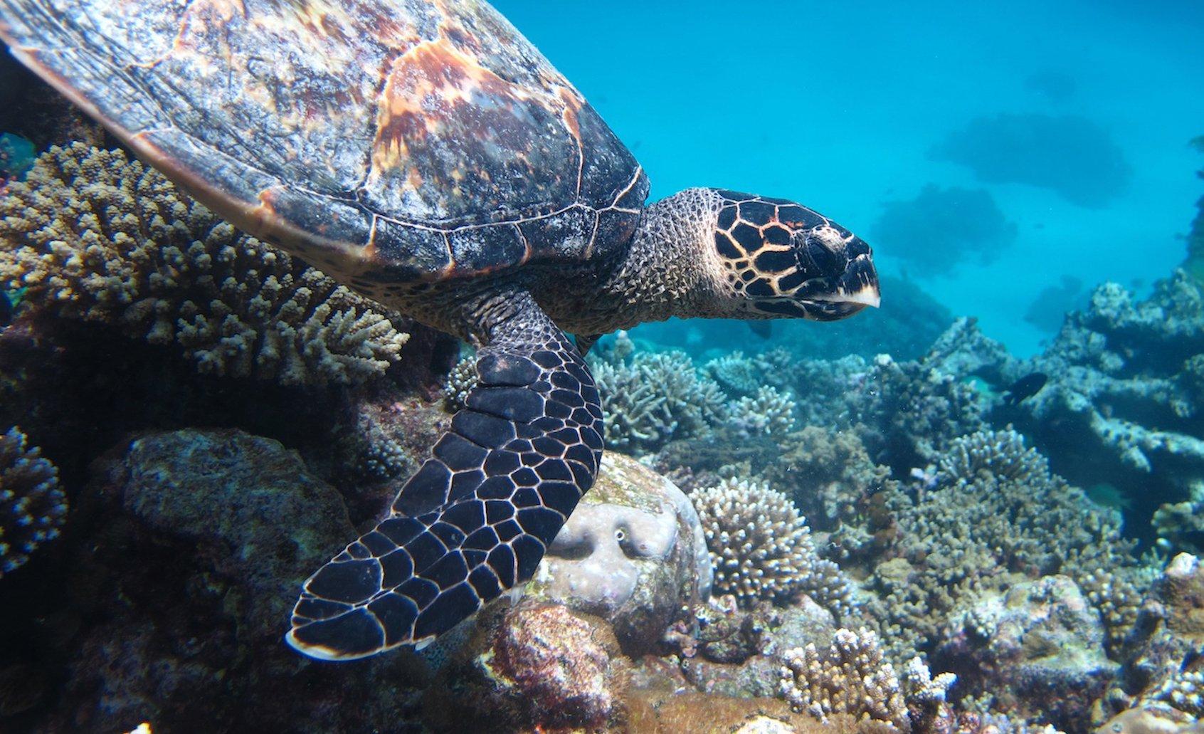Coco Bodu Hiti Turtle