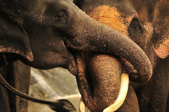 kuschelnde Elefanten