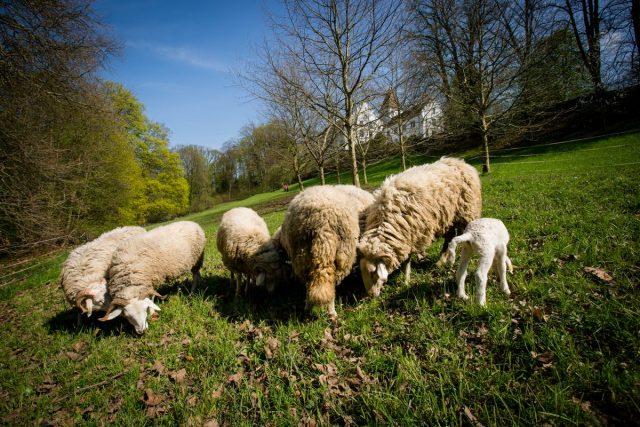 Schafe, Schloss Wartegg