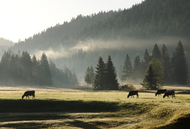 Kuhweide in Balderschwang bei der HUBERTUS Alpin Lodge & Spa.