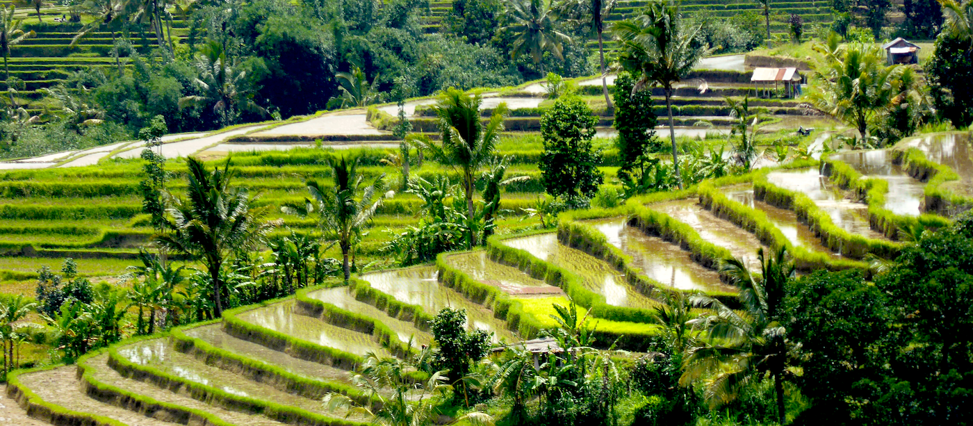 Rice terrace on Bali, Indonesia by Puri Dajuma
