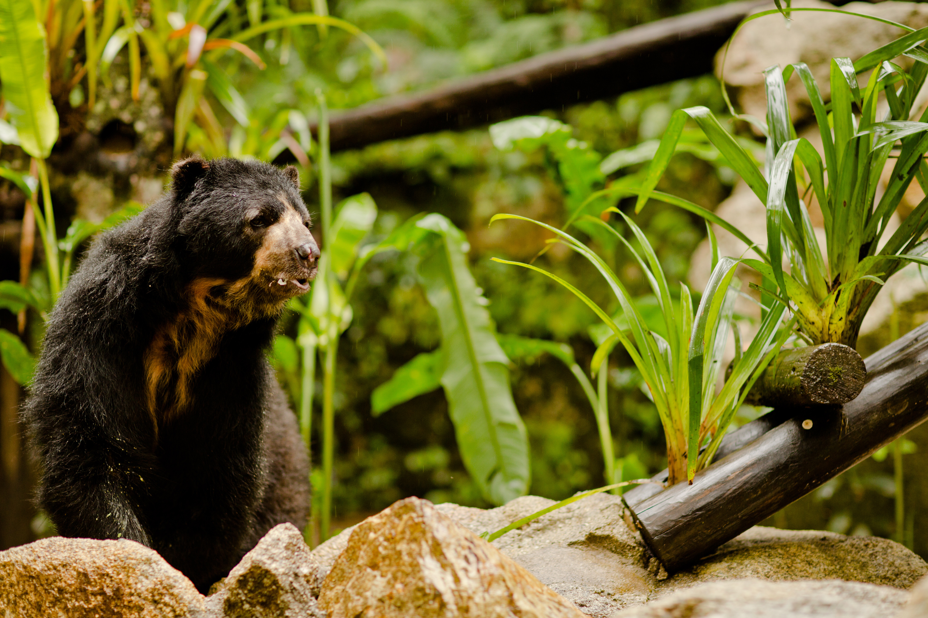 Andean bear in Peru, protected by the Inkaterra Asociación. © Inkaterra Machu Picchu Pueblo Hotel